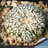 Astrophytum hybrid cv. superkabuto classical form