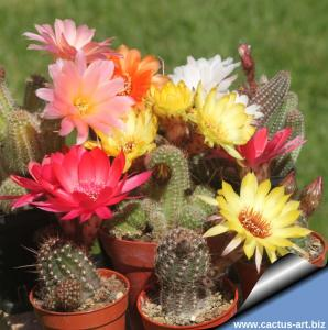 Chamaecereus hybrid (Mixed colours - seed grown)