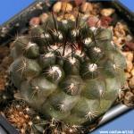 Copiapoa humilis north of Paposo (black body)
