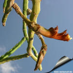 Selenicereus urbanianus forma mostruosa Unrooted cuttings