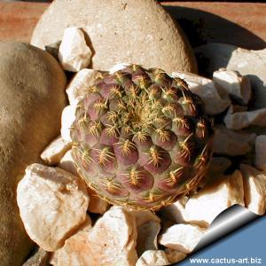 """Sulcorebutia rauschii cv. """"Yellow spines"""""""