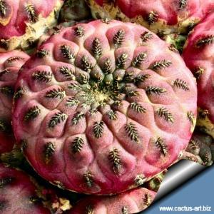 """Sulcorebutia rauschii WR 289 cv. """"violacidermis"""", Sucre, Chuquisaca, Bolivia. Own root, pot 6x6 cm."""