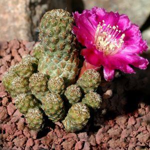 Sulcorebutia taratensis v. minima WR196 Cochabamba, cochabamba, Bolivia