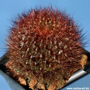 Sulcorebutia tiraquensis v. aguilarii HS220 - Pojo 2km, Carrasco, Cochabamba, Bolivia.