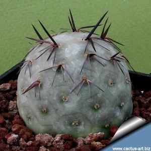 Tephrocactus geometricus (various clones)