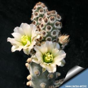 Tephrocactus molinensis Nobbly