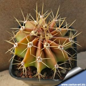 Echinopsis chacoana Chaco, Paraguay