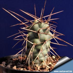 Tephrocactus aoracanthus