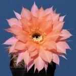Echinopsis hybrid cv. BEAUTIFUL DREAMER (Schick)