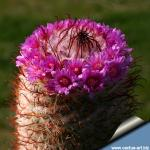 Mammillaria bombycina cv. SPLIT SPINES