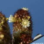 Mammillaria elongata cv. Kopper King