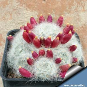 Mammillaria glassii (v. nominis dulcis) L1537 track from Dulces Nombres over Santa Engracia, Tamaulipas, Mexico 1800m