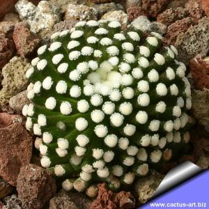 Mammillaria luethyi, own roots