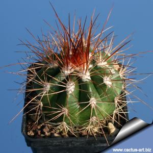 Melocactus diamantineus