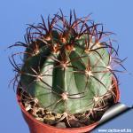 Melocactus diersianus