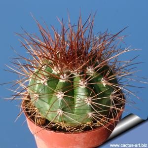 Melocactus neomontanus Hovens 81-135