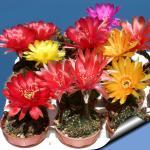 Lobivia arachnacantha hybrid (mixed colours)