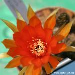Lobivia arachnacantha hybrid (clone type 3 - orange)