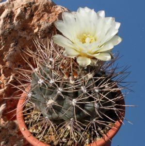 Gymnocalycium gibbosum v. nobile Sierra Mentana