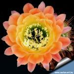 Trichopsis (trichocereus x Echinopsis hybrid) cv. APRICOT GLOW