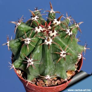 Ferocactus horridus v. brevispinus