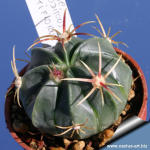 Ferocactus macrodiscus multiflorus FO053 Pachuca, Hidalgo, Mexico
