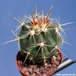 Ferocactus pottsii var. alamosensis (non F. alamosanus)