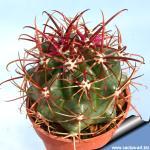 Ferocactus viridiscens (San Diego)