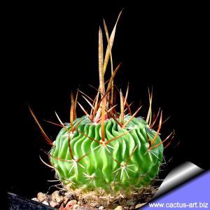 Echinofossulocactus lamellosus