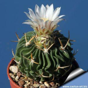 Echinofossulocactus cv. White Flowers (fiori bianchi)