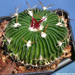 Echinofossulocactus multicostatus SB1147 v. major - Los Imagines Coahuila Mexico