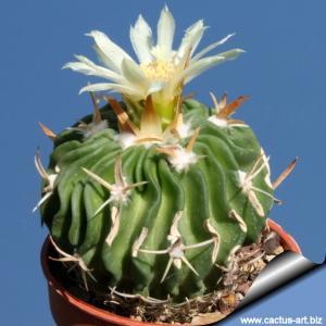 Echinofossulocactus tricuspidatus