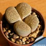 Lithops terricolor C134 5 km N of Prince Albert, RSA