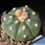 """Astrophytum asterias """"nudum"""""""