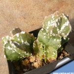 Astrophytum myriostigma cv. HAKUUN
