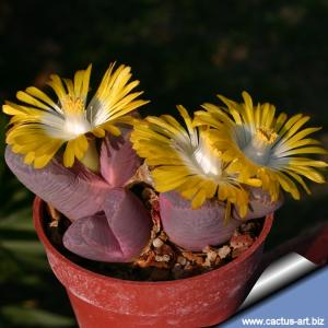 Lithops divergens v. ametistina C270 80km WNW of Loeriesfontein, Cape Province RSA