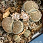 Lithops salicola C321 25 km WNW von Petrusville, South Africa