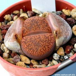 Lithops aucampiae C298 Near Severn, 120km North-North-West of Kuruman, Cape Province