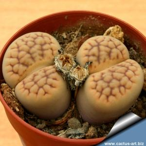 Lithops hookeri v. lutea C038 TL: 5 km North-West of Groblershoop, South Africa