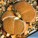 Lithops lesliei v. mariae C141TL: 10 km SW von Boshof, South Africa