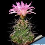 Coryphantha macromeris DJF1353 El Paso, Tx. USA