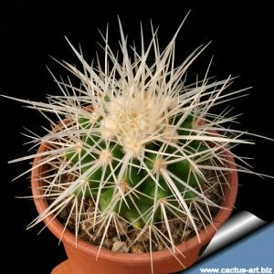 Echinocactus grusonii v. albispinus