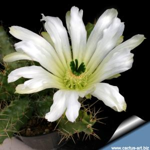 "Echinocereus pentalophus var. procumbens ""albiflorus"" Nuevo Leon. Mexico"