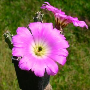 Echinocereus pentalophus Puerto Rico, TX, USA