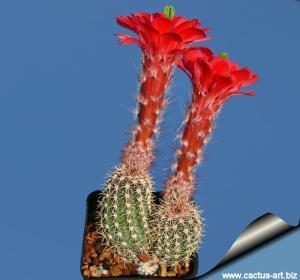 Echinocereus plomosus L768 Plomosos, Sinaloa, Mexico 1000-1300m Mexico