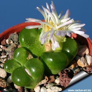 Ophthalmophyllum limpidum (Conophytum)