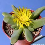 Glottiphyllum oligocarpum