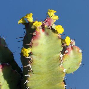 Euphorbia resinifera (Morocco)