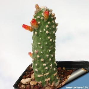 Cleistocactus jujuyensis f. mostruosa