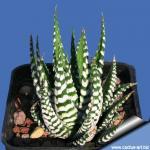 Haworthia attenuata cv. WIDE ZEBRA